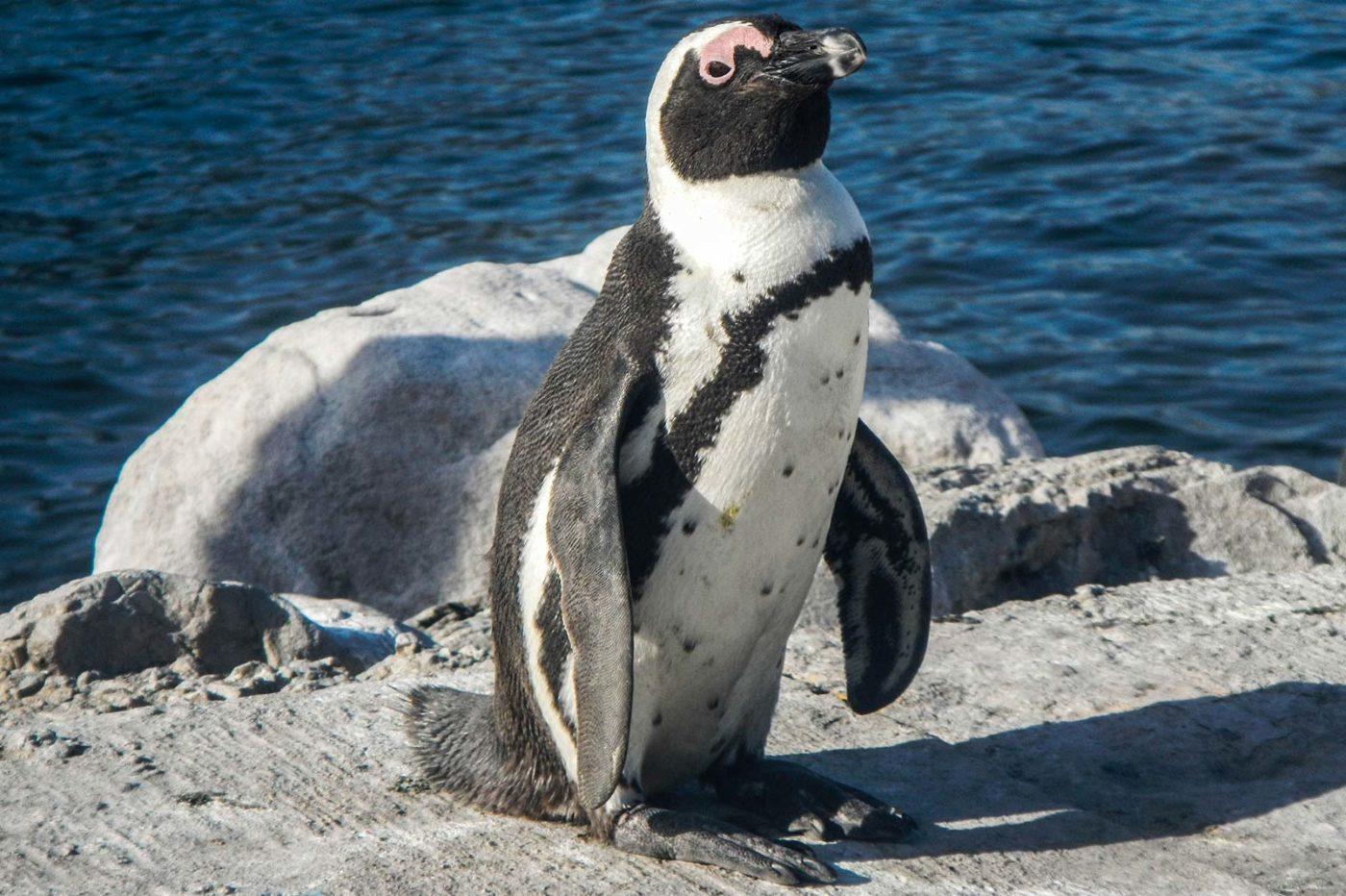 מושבת פינגווינים בדרום אפריקה. מתוך טיול פרטי ל4 מדינות אפריקני אפריקה למתפנקים