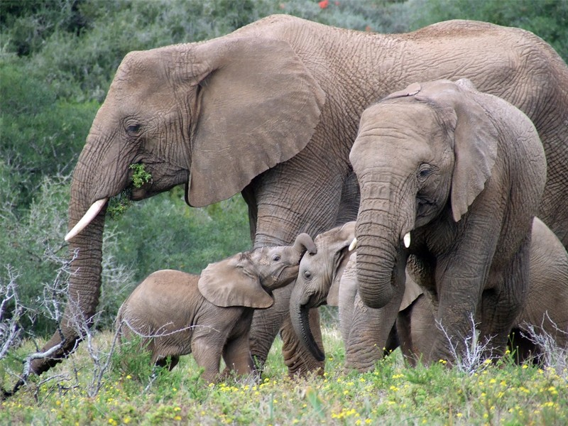Amakhala_Game_Reserve_Safari_Elephant_Family