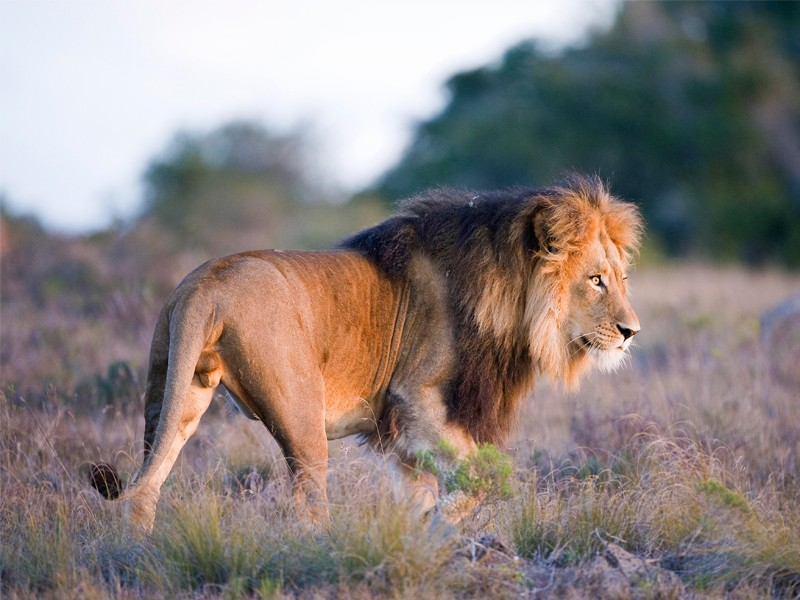 Amakhala_Game_Reserve_Safari_Lion