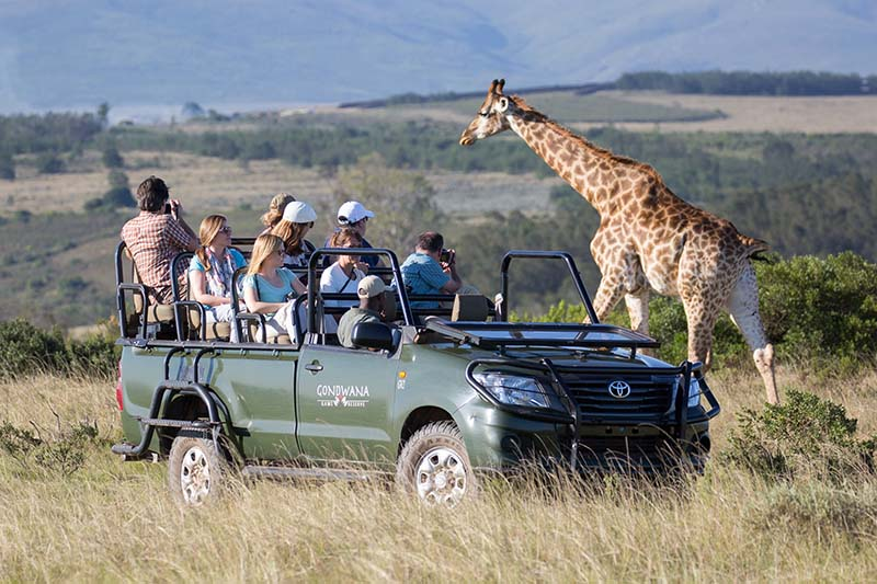 Game Drive Giraffe (1)