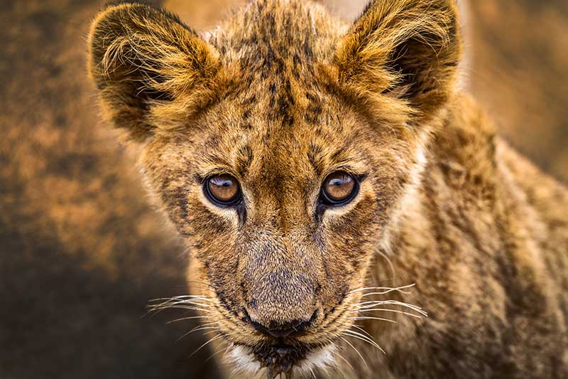 SouthAfrica_Mantobeni_LionCub_01_UG