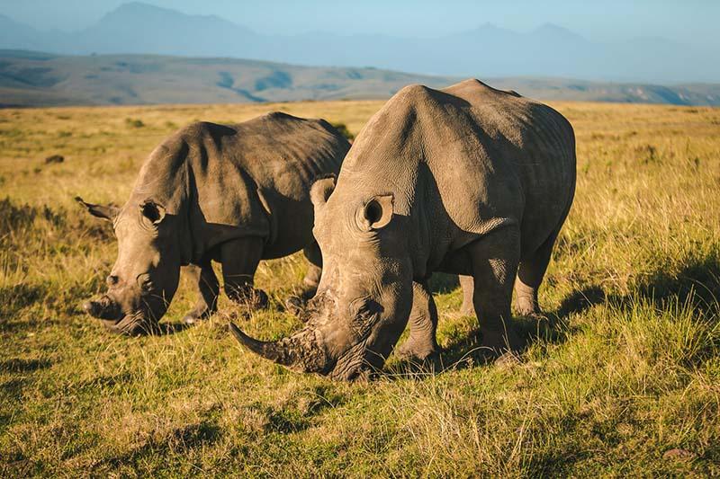Wildlife Rhinos