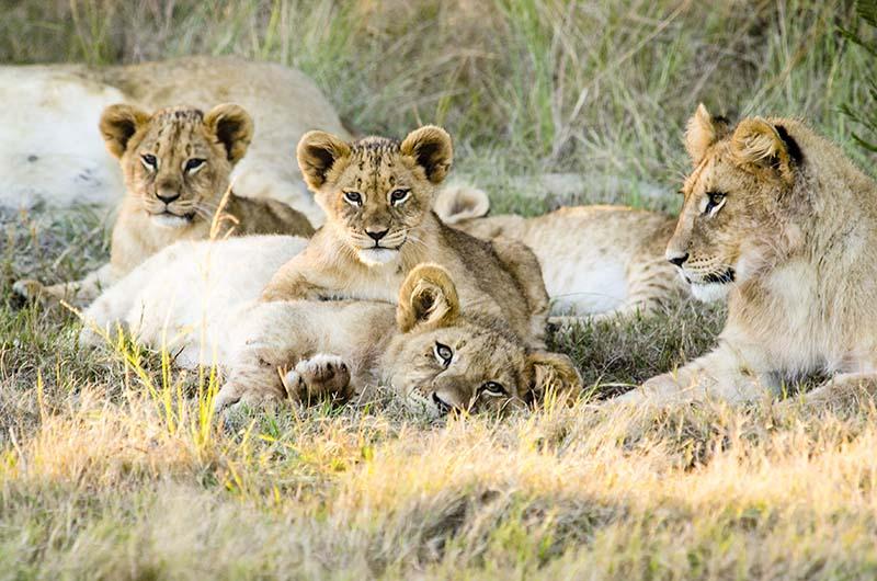 Wildlife lion pride