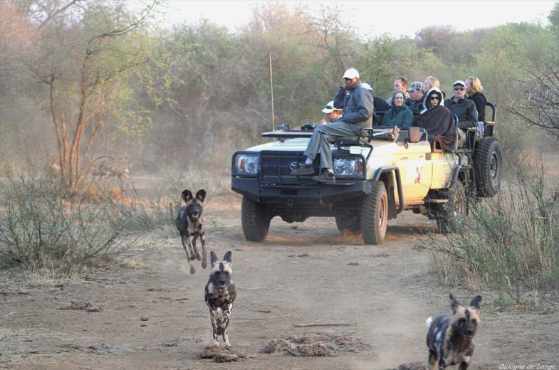 game-drive-wild-dogs-madikwe (1)