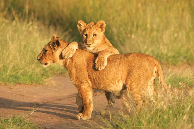 the-big-5-madikwe-lions