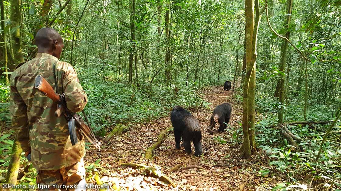 טרק שימפנזים באוגנדה