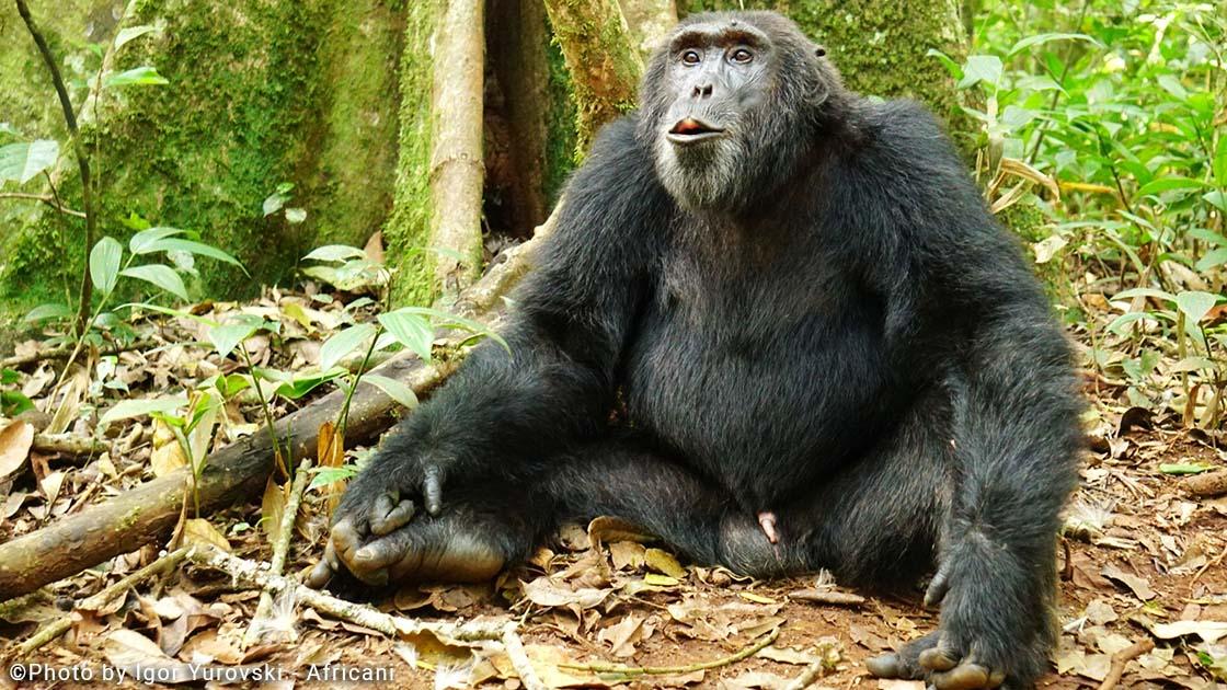 שימפנזים באוגנדה