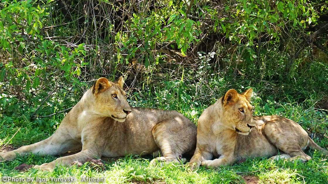אריות באגם מניירה