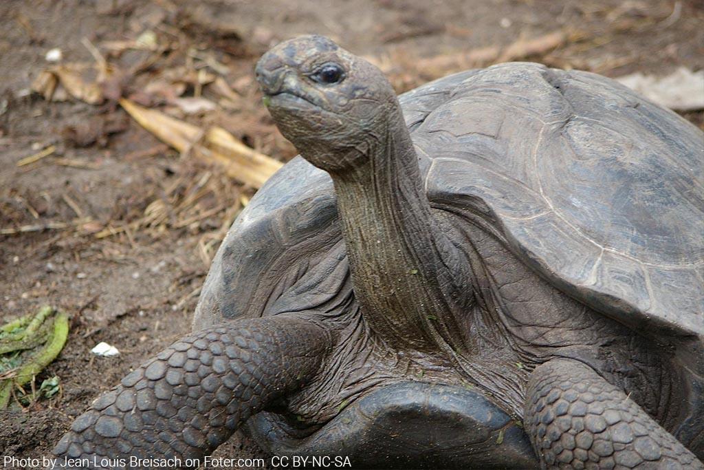 צבי ענק בסיישל