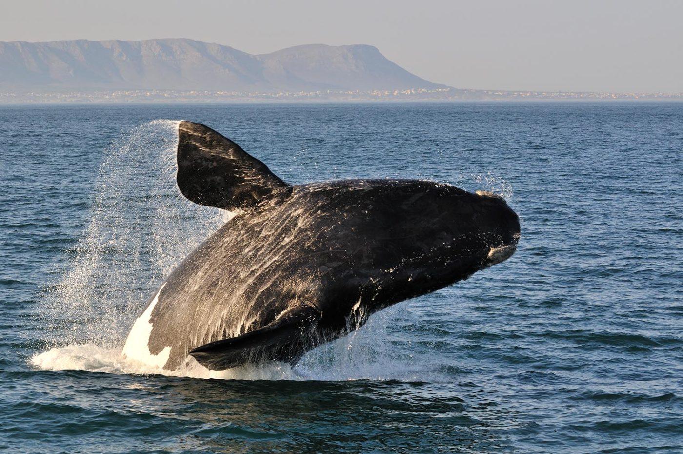 דרך הגנים מפורט אליזבט לקייפטאון שייט לוויתנים
